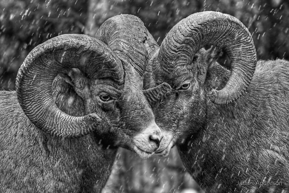 Rebel Rams by James Anderson