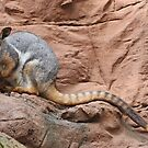 Yellow-Footed Rock-Wallaby by Steven Guy