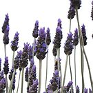 Lavender contrasts by Jan Stead JEMproductions