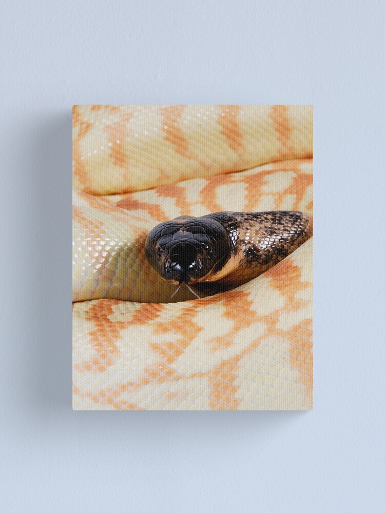 Alternate view of Black-headed Python (Aspidites melanocephalus) Canvas Print