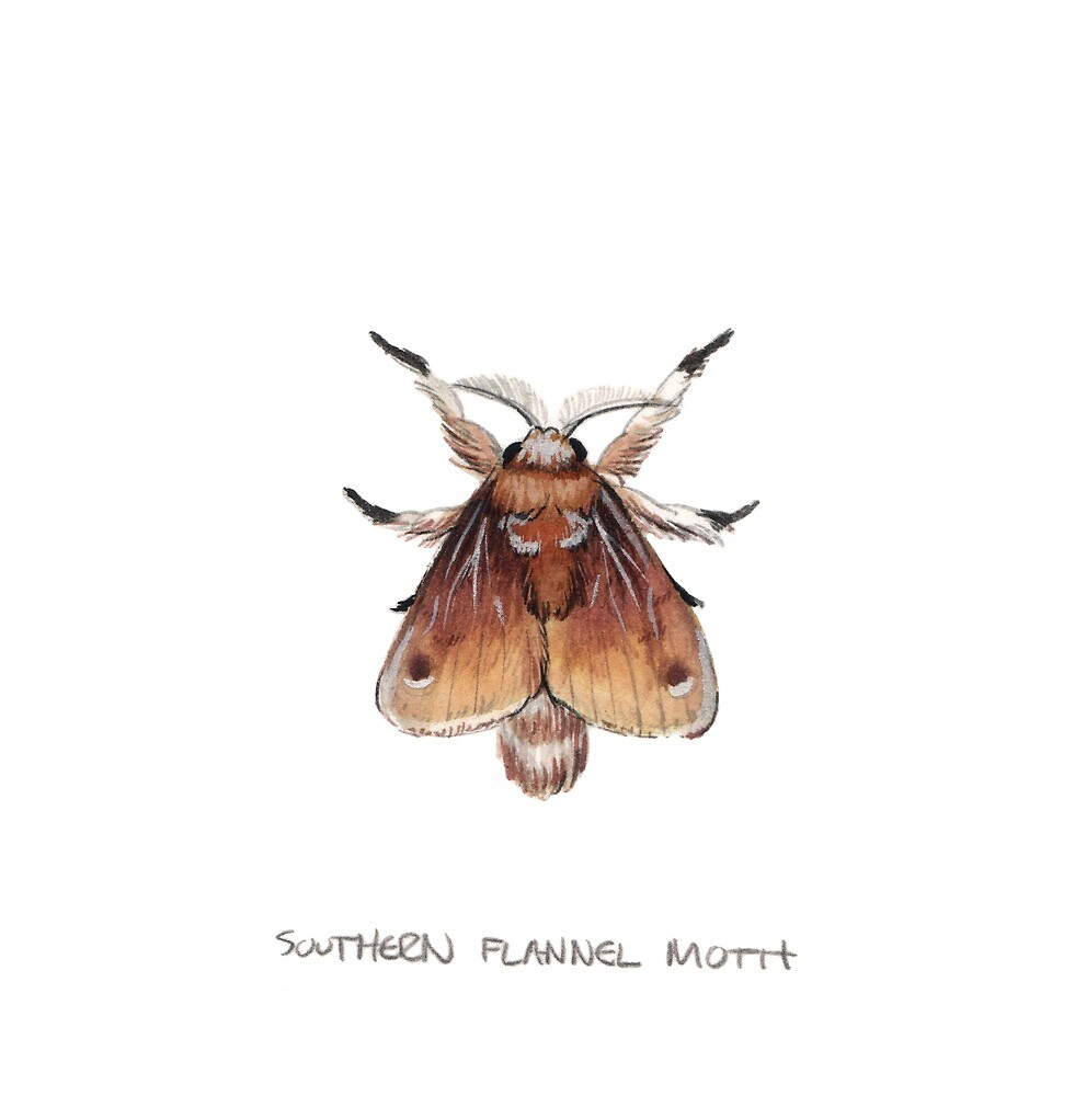 Southern Flannel Moth (Megalopyge opercularis) by JadaFitch