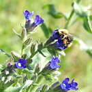 Anchusa officinalis and bee by elsie