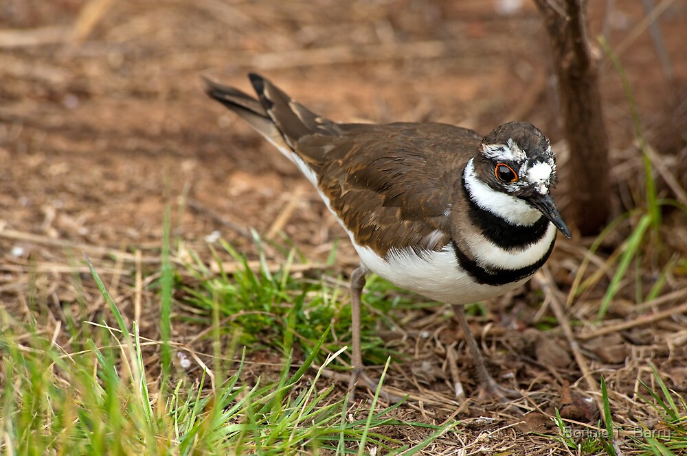 Killdeer by Bonnie T.  Barry