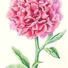 Peony (watercolour on paper) by Lynne Henderson