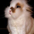 Lionhead bunny, sitting by Arve Bettum