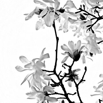 Star Magnolia Trellis 9165 Black and White  by candypaull