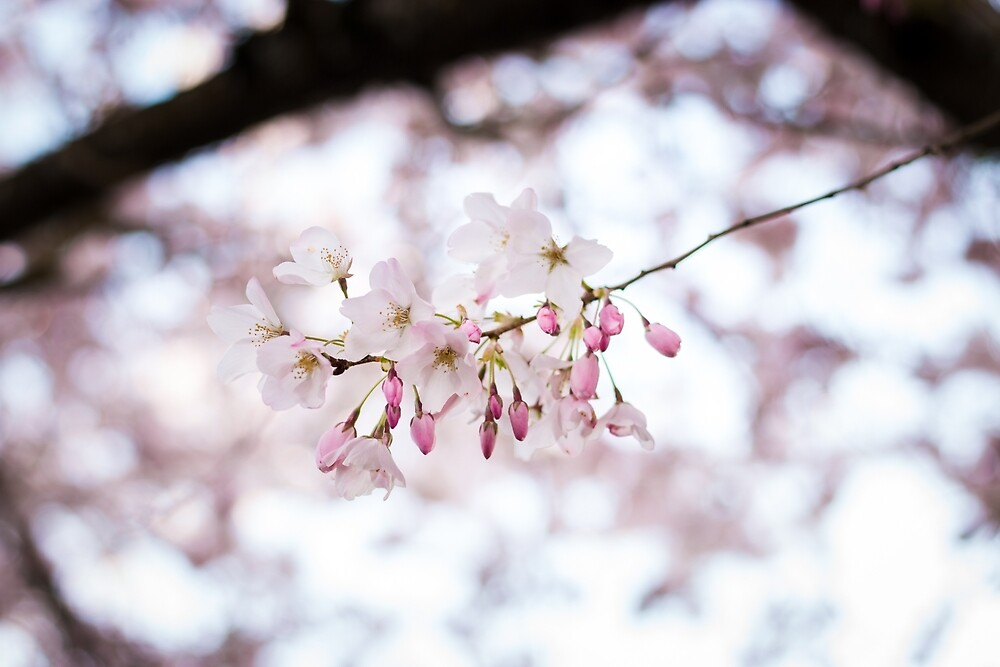 Cherry blossoms by Sandra Nelson