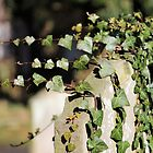 Ivy strewn grave by chihuahuashower