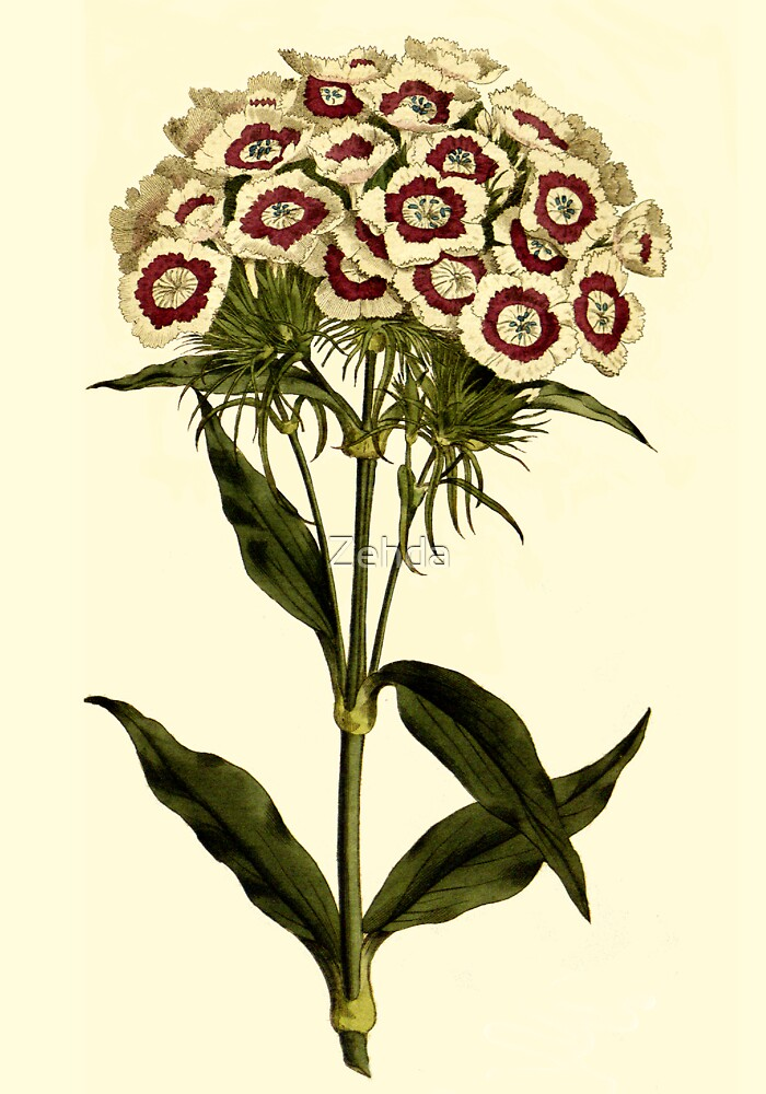 Sweet William Botanical Art by Zehda