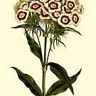 Sweet William Botanical Art by Zehda