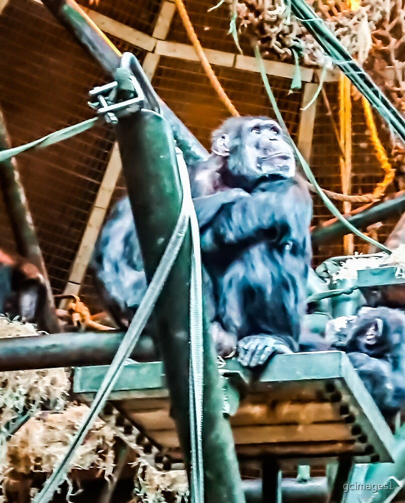 Chimpanzee  by gcimages1