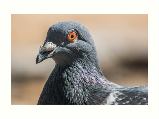 Pigeon by KensLensDesigns