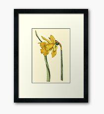 Daffodil Flower Botanical Framed Print