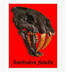 Smilodon fatalis, the Sabre Toothed Cat Photographic Print