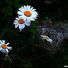 Daisy, Daisy ! by Elfriede Fulda