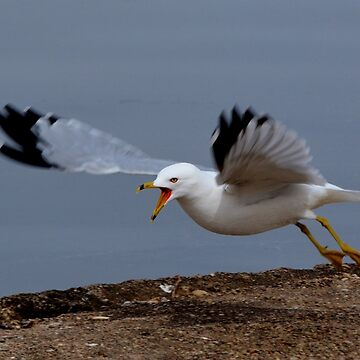 Angry Gull by farmbrough