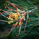 Pale Grevillea Leith Park Victoria 20171204 1831  by Fred Mitchell