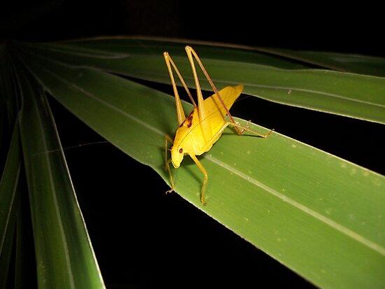 Yellow Katydid by bogleech