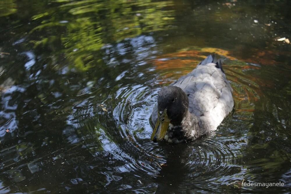 Duck Pond by ledesmayanele