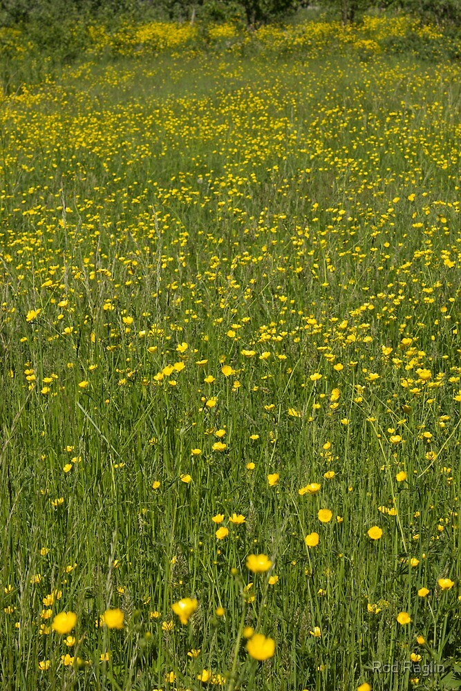 Buttercups in foreground with Buttercup Meadow background fading to infinity - vertical image by Rod Raglin