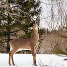 Deer Seeking Maple Syrup by Debbie  Roberts