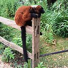Red Ruffed Lemur by cocodesigns