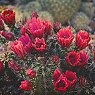 Claret Cup Blooms by Lucinda Walter