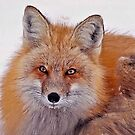 Red Fox by Jackie Popp