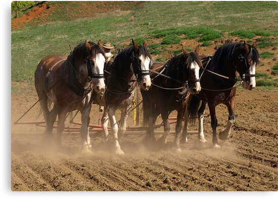 Clydesdales working the land - Gippsland, Victoria by Bev Pascoe