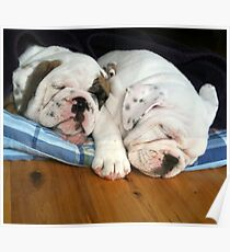 Bubby and Sissy English Bulldog Puppies Poster