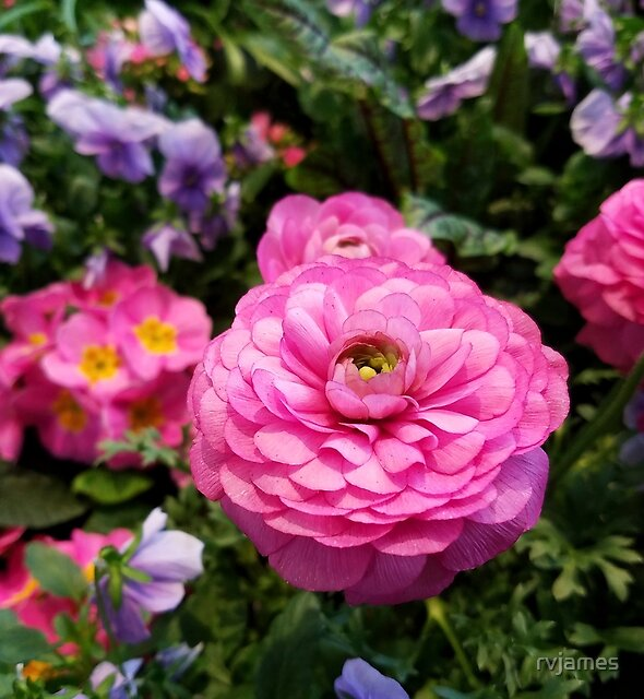 SPRING Rosy Ranunculus and Primrose with violet Violas by rvjames