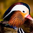 Mandarin Duck by Sharon Morris
