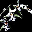 White Leopard Orchid by AngieDavies