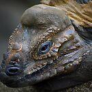 Basking Iguana by Chamika Amarasiri