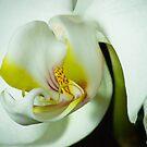 PHALAENOPSIS ORCHID by hugo