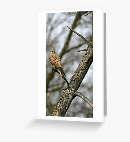 Common kestrel Greeting Card