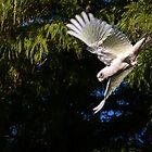 Short-billed Corella in Flight by Sandra Chung