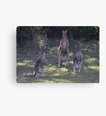The 3 Kangaroos Canvas Print