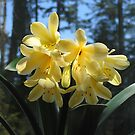 Lemon Yellow Clivia by Pat Yager