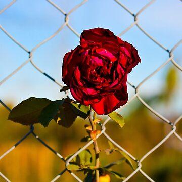 Joey's Rose by ReachOne