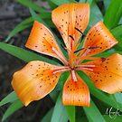 Tiger Lily by Br0wnEyedQueen