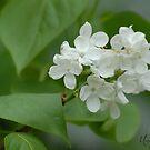 White Lilac by Br0wnEyedQueen