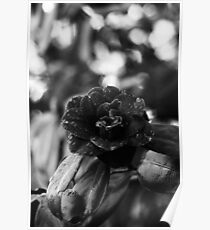 Derrynane Gardens - 'Black Rose' Poster
