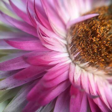 Pink petals by jackbattle6