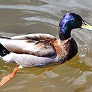 Duck........... by lynn carter