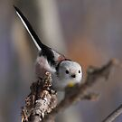 Long-Tailed Tit by HoremWeb