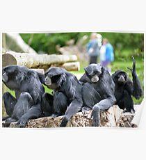 Siamang Gibbon family relaxing in fota wildlife park Poster