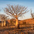Sunkissed Boab Trees by Mieke Boynton