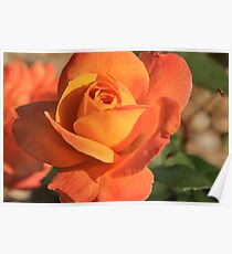 Peach Colored Rose Poster