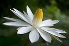 Night Bloomer ~ White Water Lily with Splayed Petals   by Kerryn Madsen-Pietsch